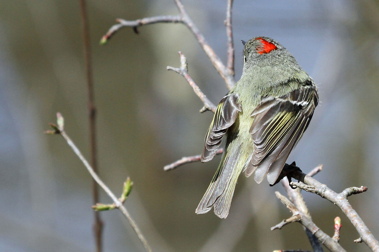 Ruby-crowned Kinglet - April 21, 2013, Hidden Lake, IL