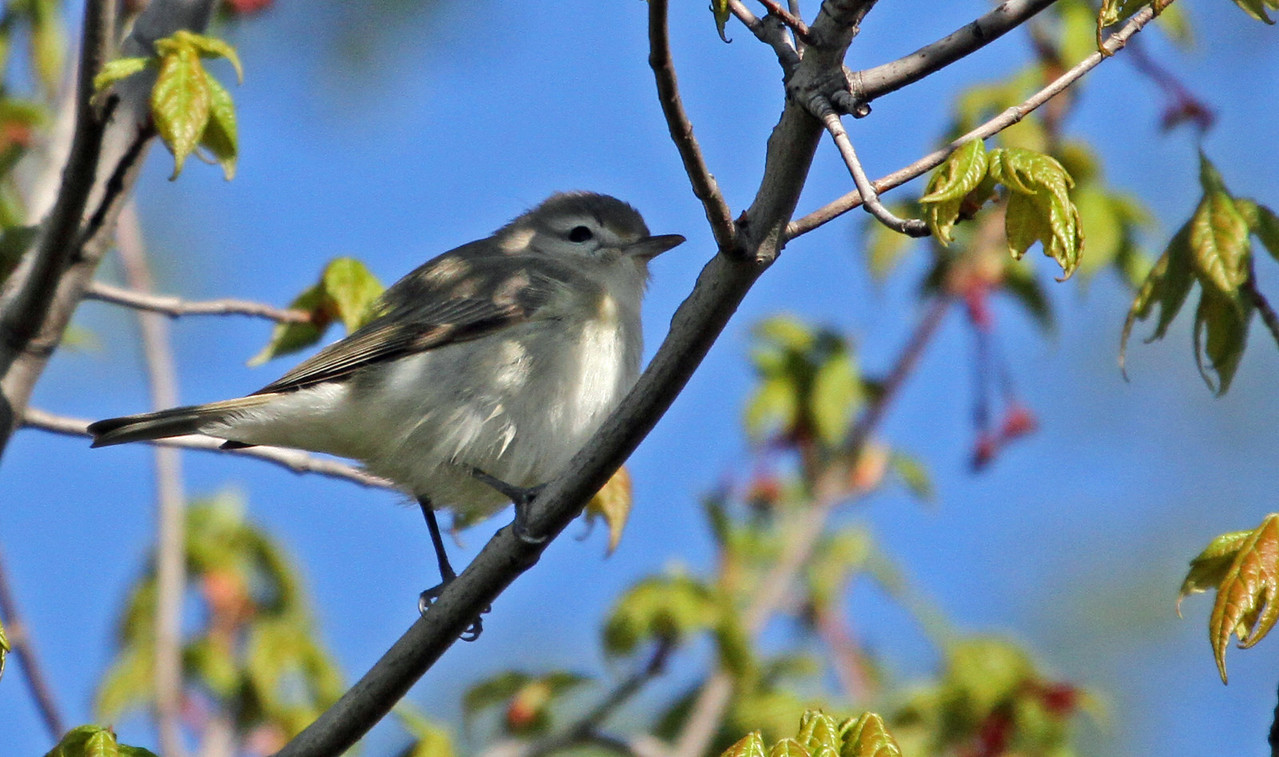 May 12, 2013, Montrose Point, Chicago - Warbling Vireo