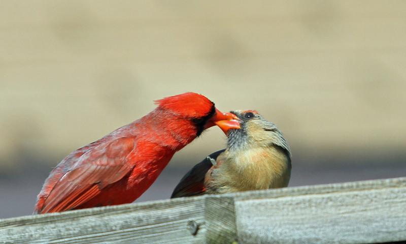 Northern Cardinal - April 23, 2013, Villa Park, IL