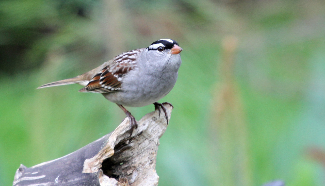 White-crowned Sparrow - May 9, 2013, Villa Park, IL