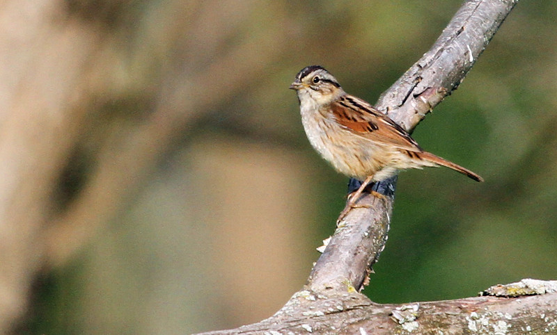 Swamp Sparrow - May 8, 2013, Lyman Woods, Downers Grove, IL