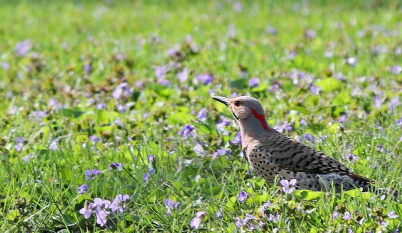 Northern Flicker - May 7, 2013, Churchill Woods, Glen Ellyn