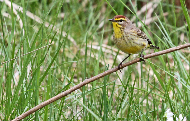 Palm Warbler - May 2, 2013,  Bemis Woods, Westchester, IL