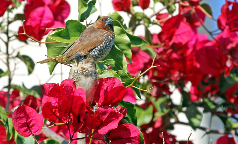 Nutmeg Mannikin (Spice finch,Spotted Munia) - April 4, 2013, Yorba Linda, CA<br /> Classified as an Exotic finch, established in southern California in 1980s.