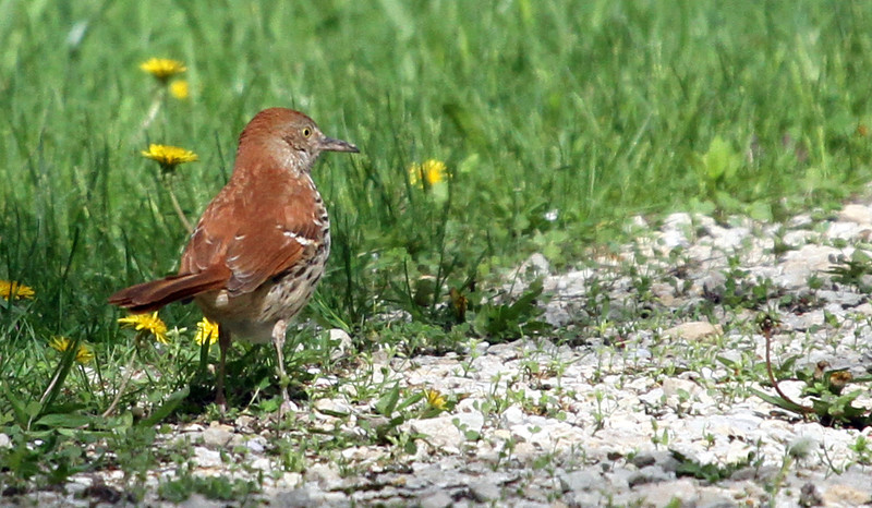 Brown Thrasher - May 11, 2013, Elsen's Hill, Winfield, IL