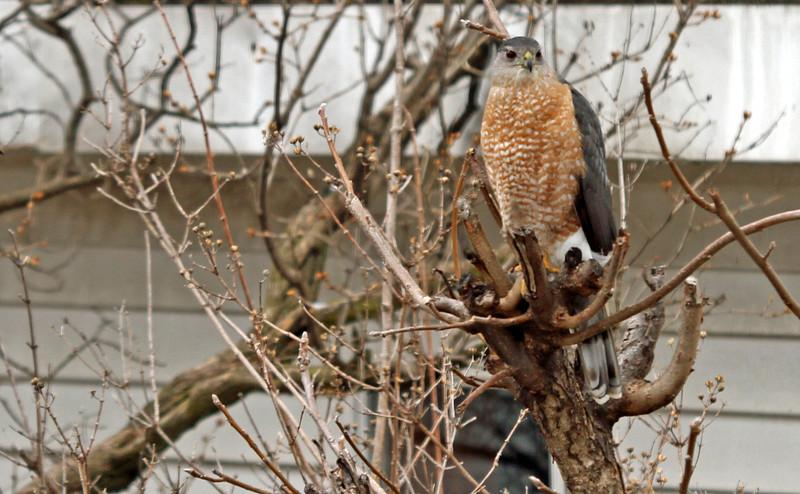 Cooper's Hawk - March 25, 2013, Villa Park, IL