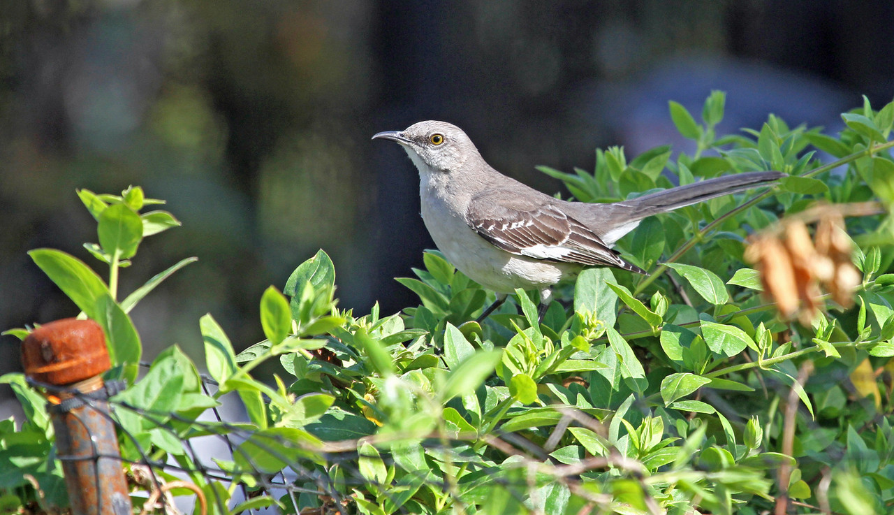 "Northern Mockingbird - April 4, 2013, Yorba Linda, CA<br /> I've seen this bird chase a Red-shoulder Hawk out of ""his"" Jacarranda tree."