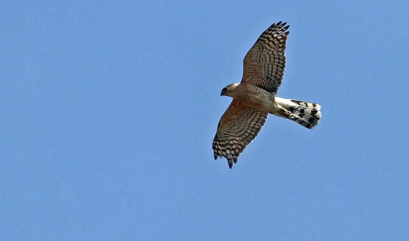 Cooper's Hawk - April 21, 2013, Hidden Lake, Lisle, IL