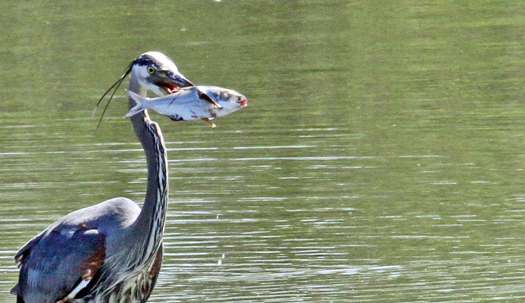 May 14, 2013, Itasca Reservoir, Itasca, IL - Great Blue Heron