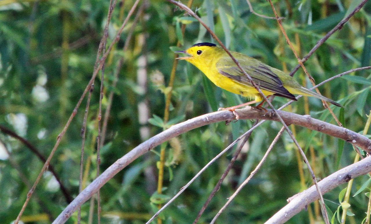 May 14, 2013, Salt Creek Park, Wood Dale, IL - Wilson's Warbler