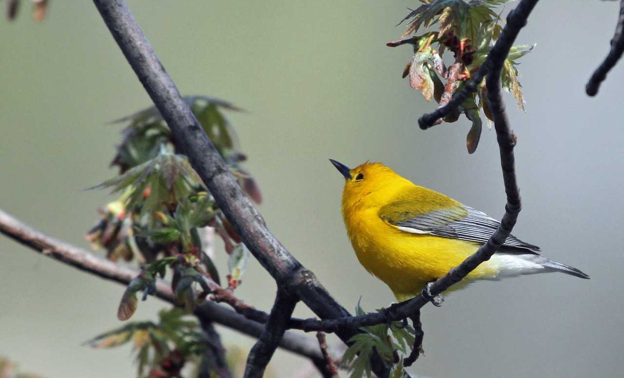 Prothonotary Warbler - May 1, 2013, North Pond, Chicago