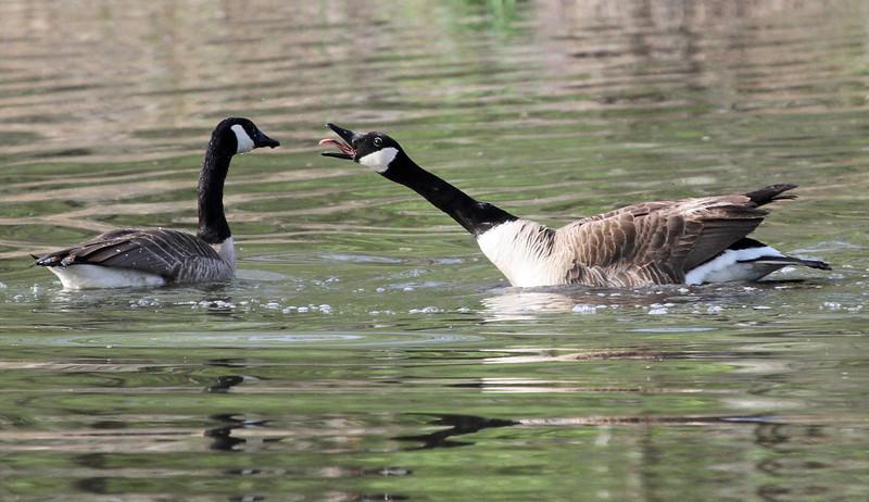 Canada Goose - May 7, 2013, Churchill Woods, Lombard