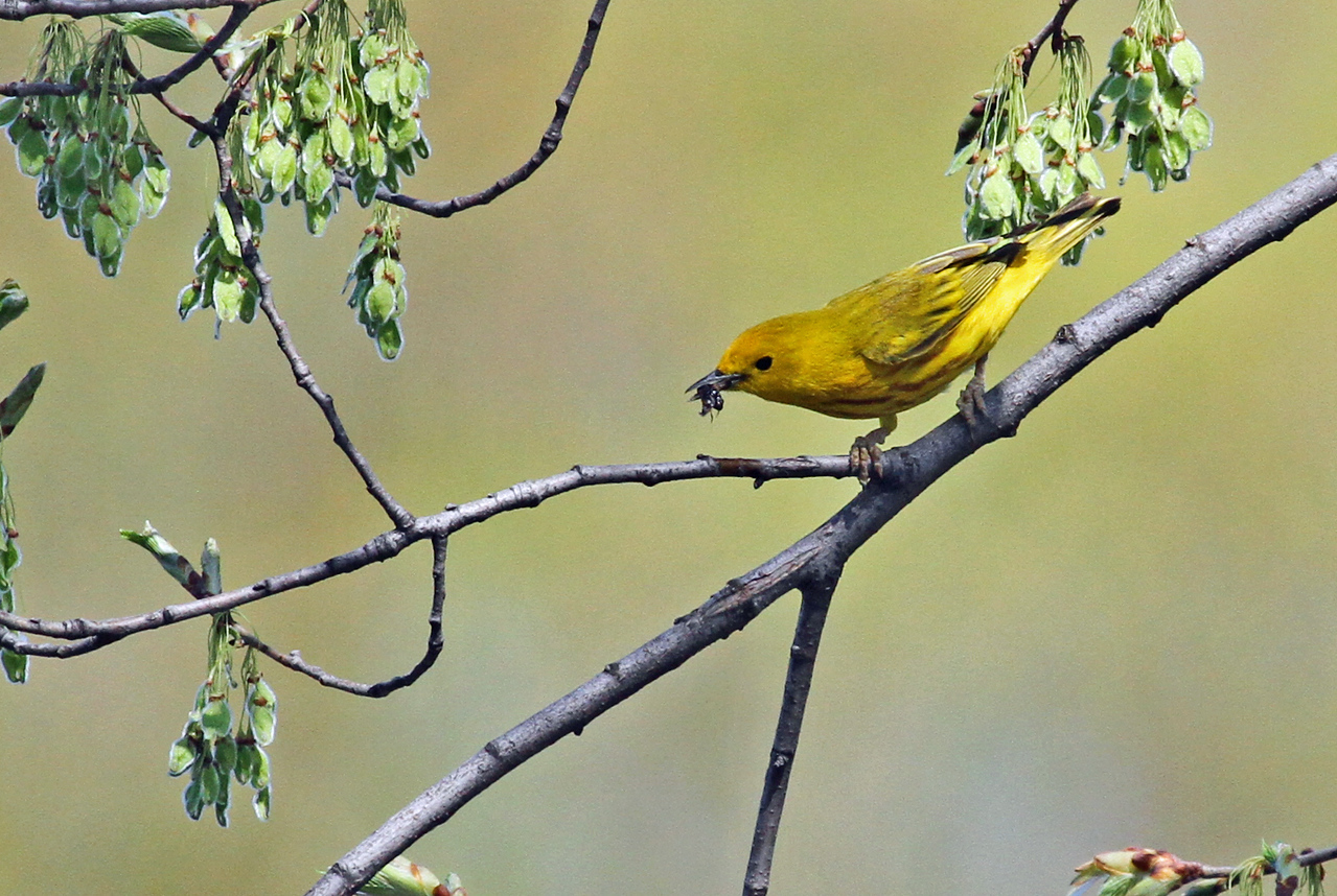 Yellow Warbler - May 1, 2013, North Pond, Chicago