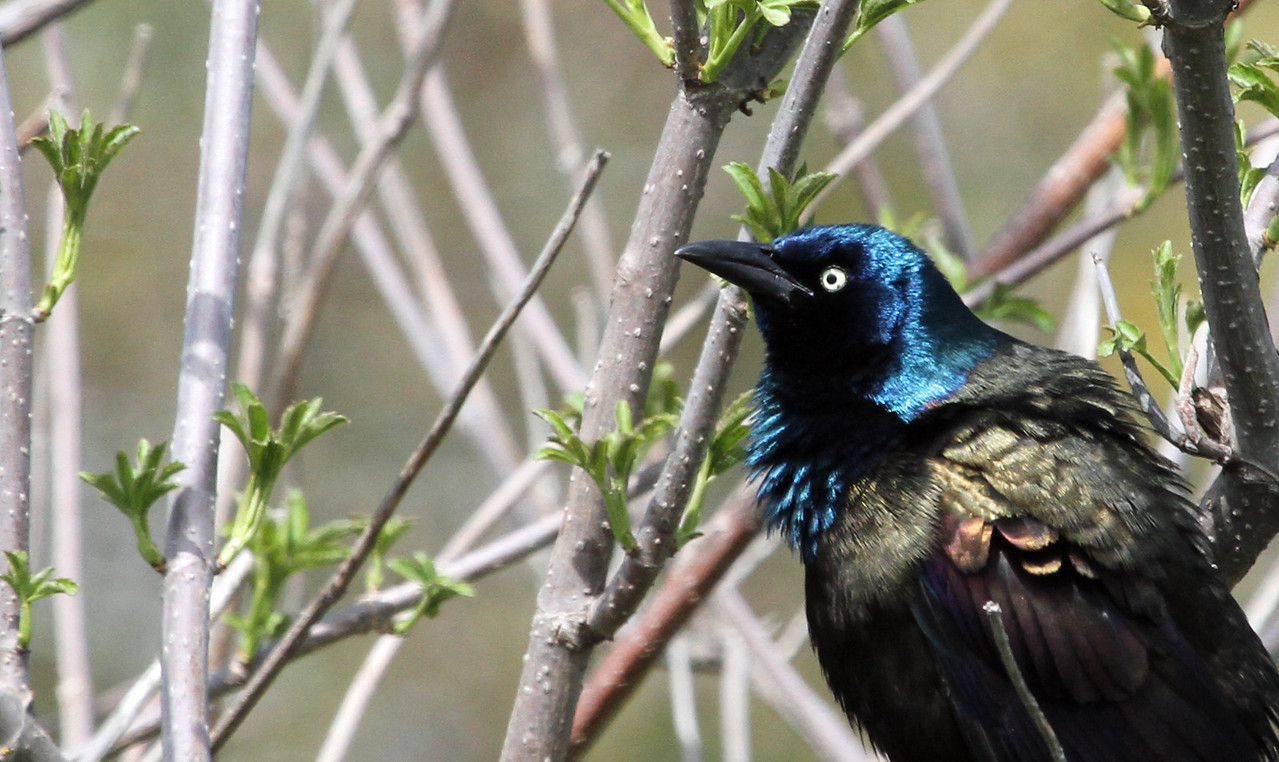Common Grackle - May 5, 2013, Montrose Point, Chicago