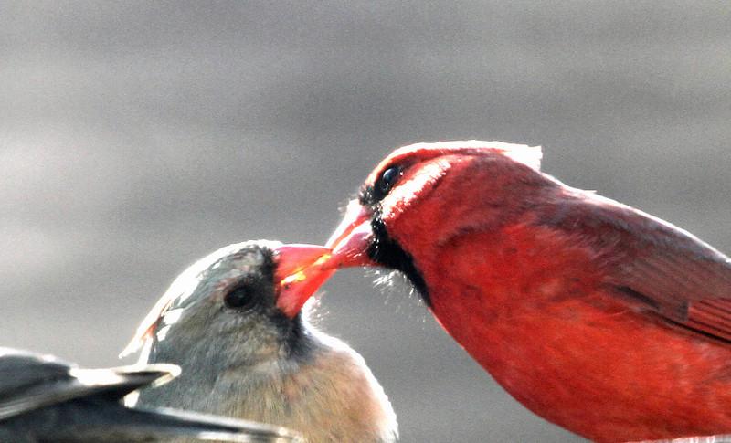 Northern Cardinal - April 23, 2013, Villa Park