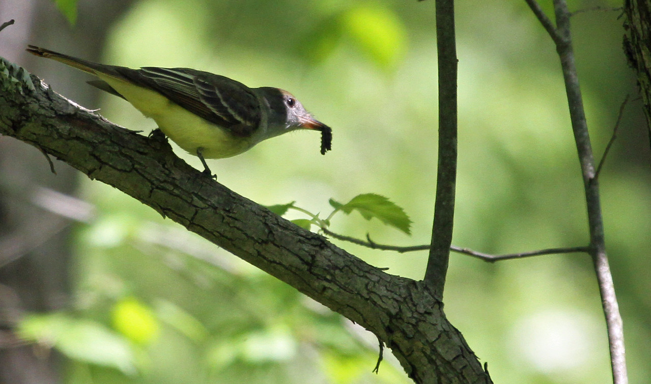 May 13, 2013, McClaughrey Spring Woods - Great Crested Flycatcher