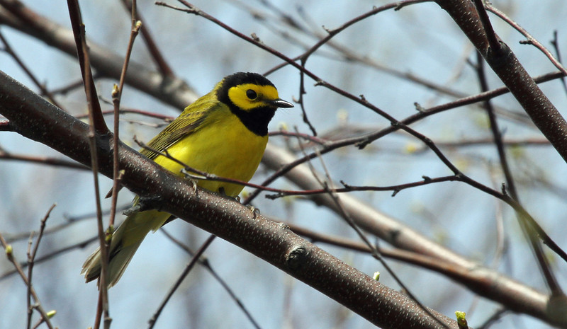 Hooded Warbler - May 5, 2013, Montrose Point, Chicago