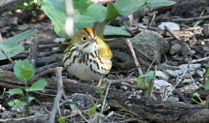 May 12, 2013, Montrose Magic Hedge, Chicago - Oven Bird