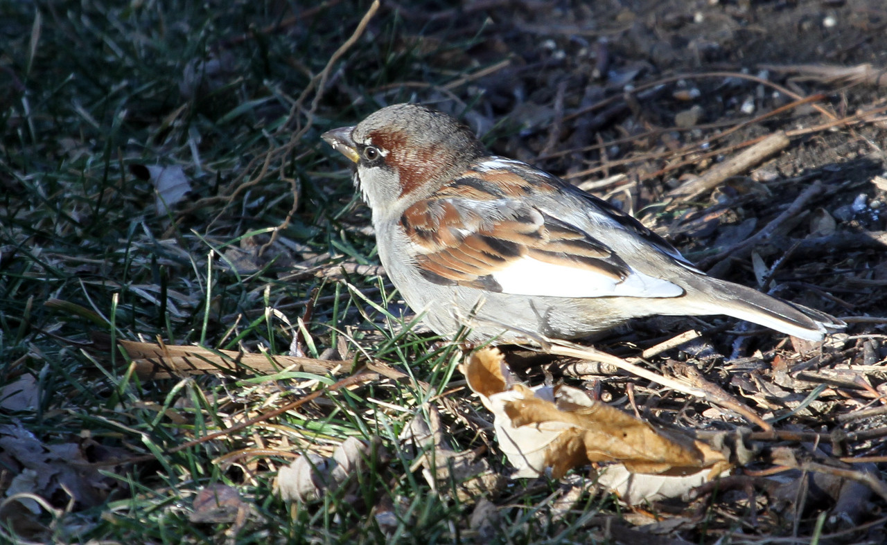 """Jan 2, 2013 Villa Park, IL     House sparrow<br /> This is a very """"white"""" House sparrow that stayed around the yard for several weeks. The white is very pronounced when flying away from you."""