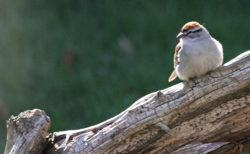 Chipping Sparrow - April 23, 2013, Villa Park, IL