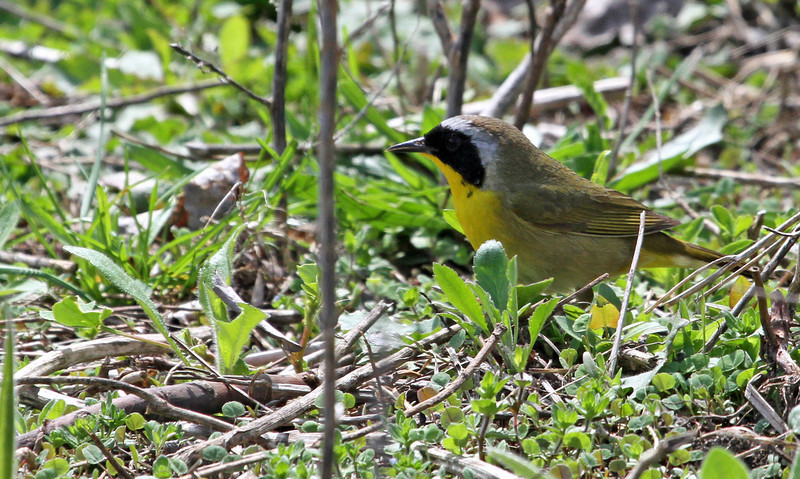 Common Yellowthroat - May 5, 2013, Montrose Point, Chicago