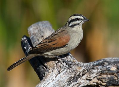 Cape Bunting (West Coast NP)
