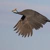 Helmeted Guineafowl (Darling)