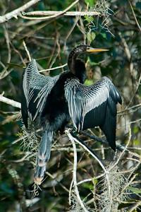 Anhinga - Corkscrew Swamp, FL