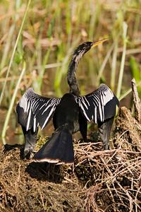 Anhinga - male - Wakulla Springs State Park, FL - 04