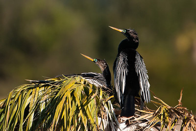 Anhinga - pair at nest - Viera Wetlands, FL