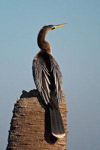 Anhinga - female - breeding plumage - Viera Wetlands, FL
