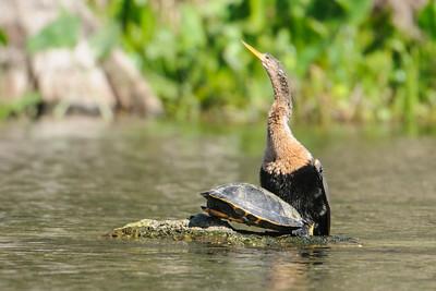 Anhinga - female - Wakulla Springs State Park, FL