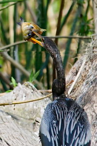 Anhinga - eating a fish - Wakulla Springs State Park, FL