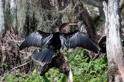 Anhinga - male - Wakulla Springs State Park, FL