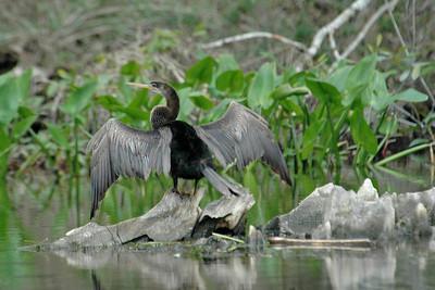 Anhinga - juvenile-Wakulla Springs State Park, FL