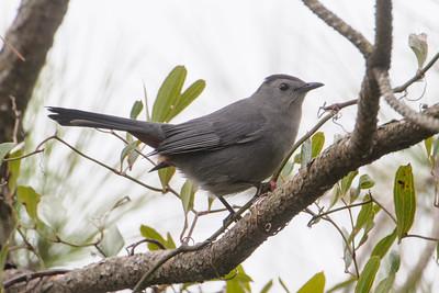 Catbird - Gray - Salinas Park, FL