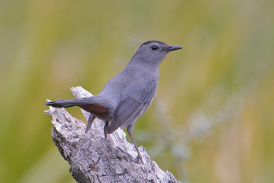 Catbird - Gray - Bald Point, FL