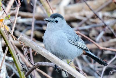 Catbird - Gray - Apalachicola, FL