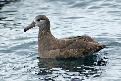 Albatross - Black-footed - Pelagic trip - Newport, OR - 02