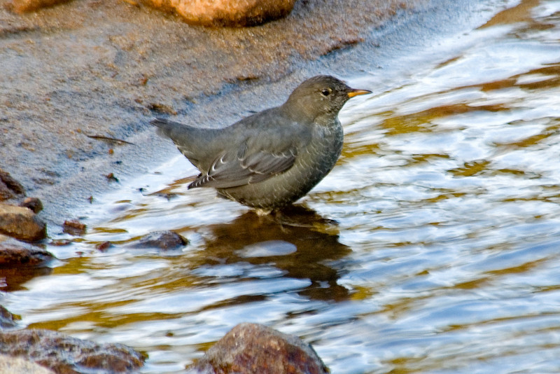 Dipper - American - Rocky Mountain National Park - CO - 04