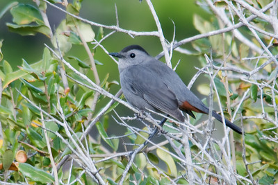 Catbird - Gray -St. George Island FL - 01