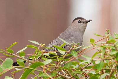 Catbird - Gray -St. George Island FL - 02