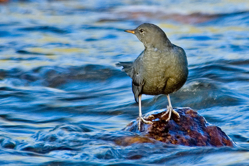 Dipper - American - Rocky Mountain National Park - CO - 01