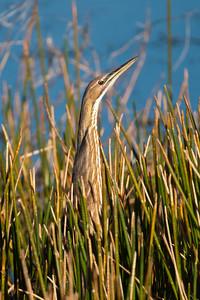 Bittern - American - Viera Wetlands, FL