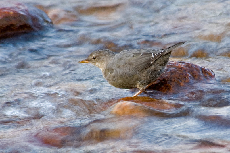 Dipper - American - Rocky Mountain National Park - CO - 02