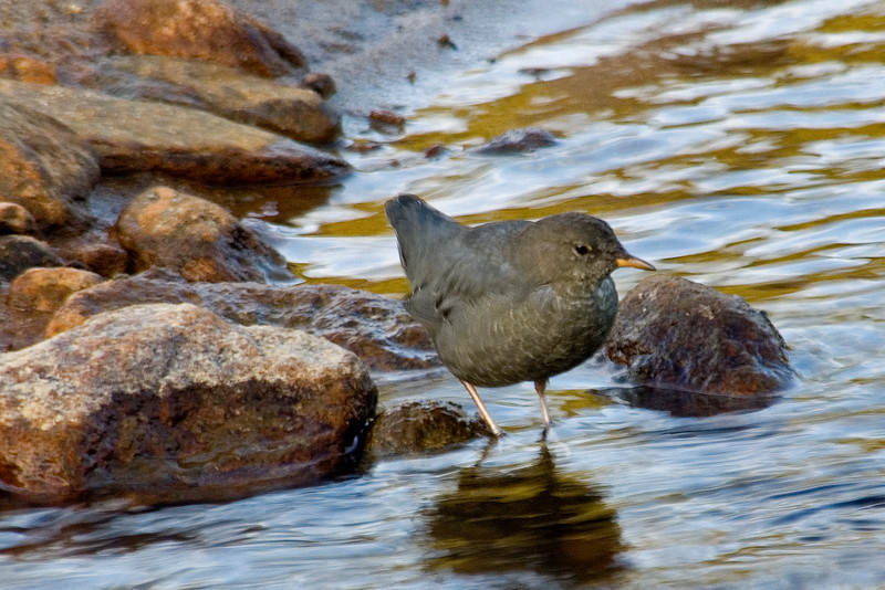 Dipper - American - Rocky Mountain National Park - CO - 03