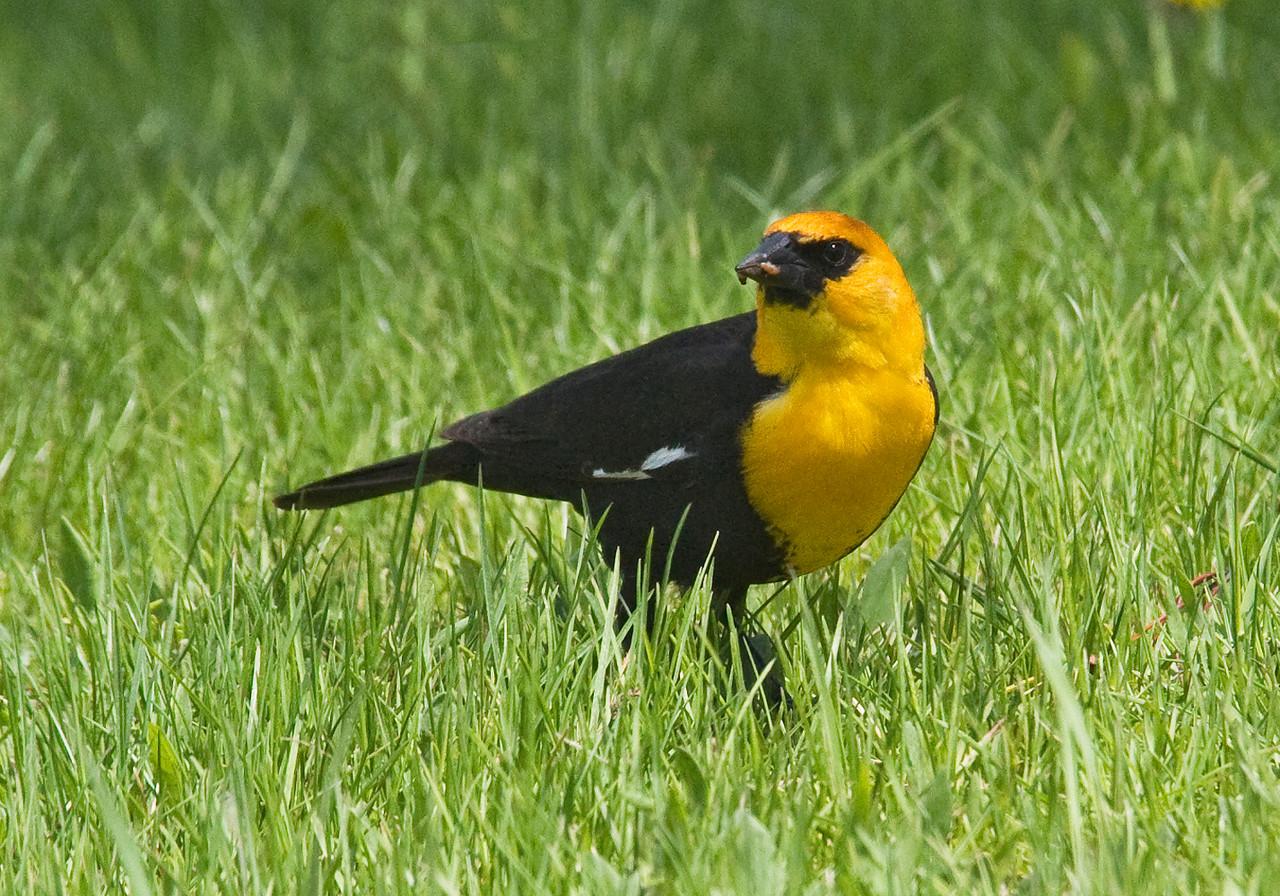 Blackbird - Yellow-headed - male - Deer River, MN - 02