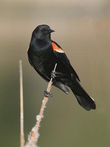 Blackbird - Red-winged - male - Hansen Park - New Brighton, MN