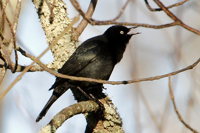 Blackbird - Rusty - male - Itasca County Road 325 - MN