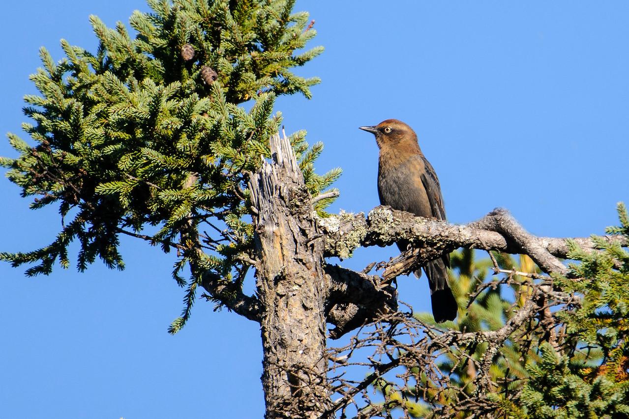 Blackbird - Rusty - Park Hill Road - Lake County, MN
